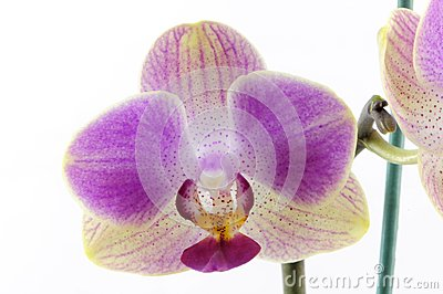Single yellow orchid with purple spot