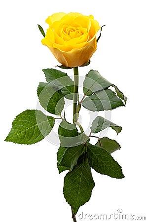Free Single Yellow Rose Royalty Free Stock Photos - 24397568