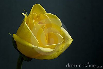 Single yellow rose on black background in sunlight