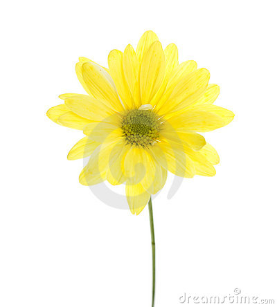 Free Single Yellow Shasta Daisy Stock Photos - 14269273