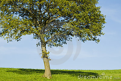 Single young oak tree