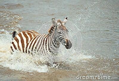 Single zebra (African Equids)