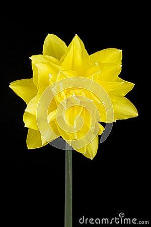 Singolo doppio narciso giallo sul nero fotografia stock for Narciso giallo