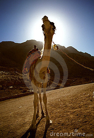 Sinia Camel