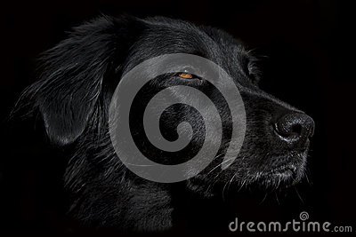 Siria the black dog on dark background