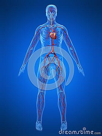 Sistema Cardiovascular Imagens De Stock Imagem 5564134