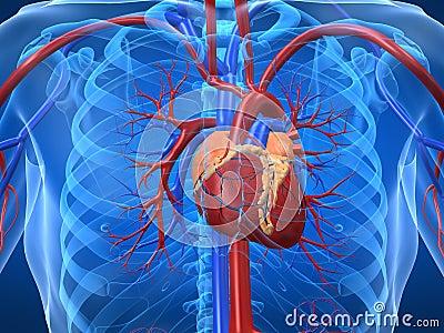 http://thumbs.dreamstime.com/x/sistema-cardiovascular-5564150.jpg