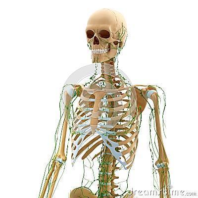 sistema linfático de homem com fundo branco imagens de