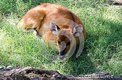 Sitatunga (Marshbuck)