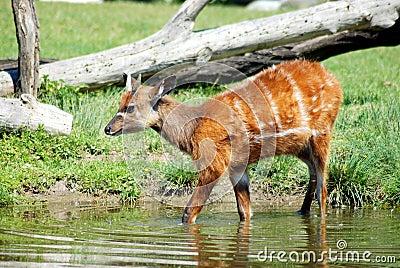 Sitatunga (Swamp antelope)