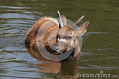 Sitatunga (swamp antelope) in the water