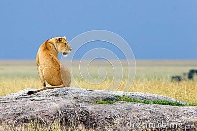 Siting Alone Simba