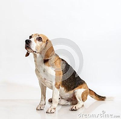 Free Sitting Beagle Stock Photos - 63049973