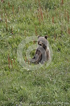 Sitting Bear Cub