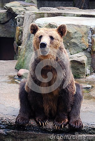Sitting brown bear in the zoo