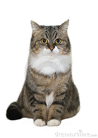 Free Sitting Cat Royalty Free Stock Photography - 10972367