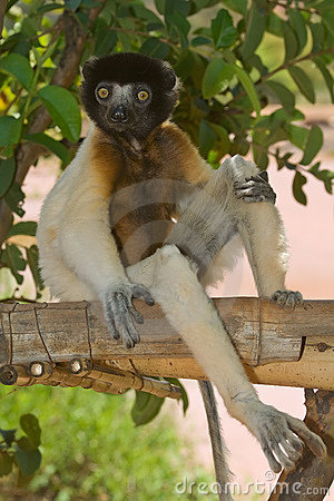 Free Sitting Crowned Sifaka  Royalty Free Stock Photography - 7996407