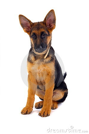 Sitting German Shepard dog