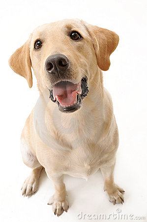Free Sitting Labrador Royalty Free Stock Photography - 13829987