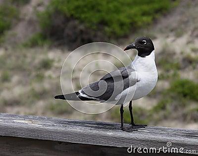 Sitting Laughing Gull