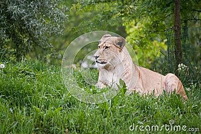 Sitting lioness