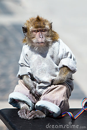 The sitting monkey dressed, as the person