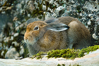 Sitting mountain hare