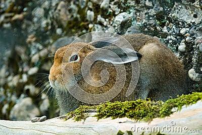 Sitting mountain hare