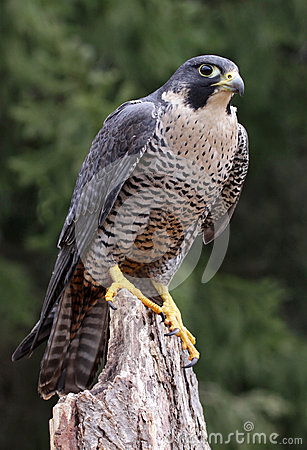 Free Sitting Peregrine Falcon Stock Images - 31508364