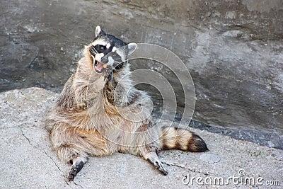 Sitting on the rock raccoon