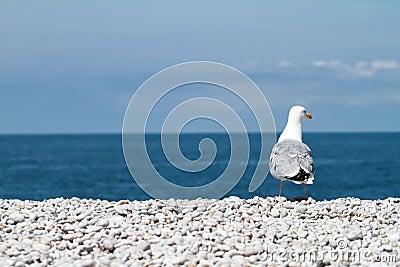 Sitting seagull