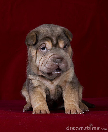 Free Sitting Sharpei Girl2 Royalty Free Stock Image - 16870346