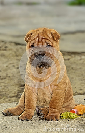 Sitting sharpei puppy dog