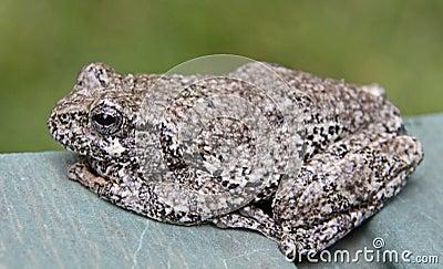 Sitting Tree Frog