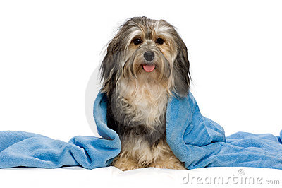 Sitting tricolor Havanese with blue blanket