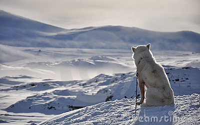 Sitting white dog in winter, Greenland
