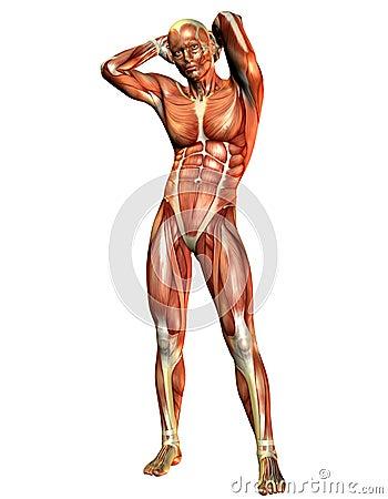 Situación del hombre del músculo