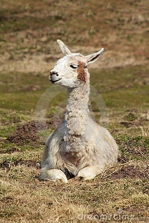 Sitzendes Lama 2