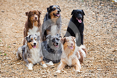 Six Australian Shepherd dogs