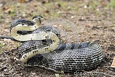 Large six foot Eastern Black Rat Snake forked tongue, Georgia