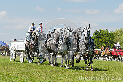 Six Horse Hitch Team of Grey Percherons at Country Editorial Stock Photo