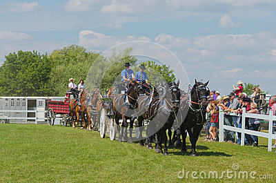 Six Horse Hitch Teams of Heavy Draft Horses Editorial Stock Image