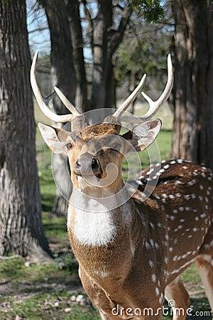 Six Point Buck