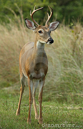 Free Six Point White-tailed Deer Royalty Free Stock Photo - 3250975