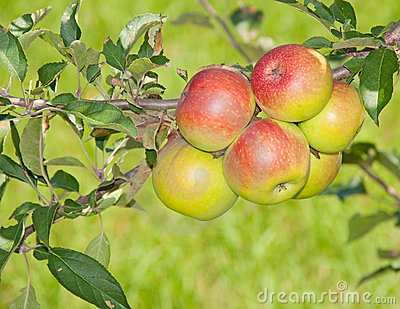 Six reddening apples