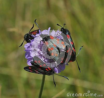 Free Six-spot Burnet Moths On Scabious Stock Photography - 12653772