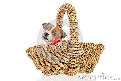 Six weeks old Jack Russel in basket