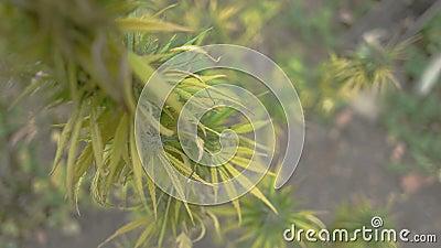Självodlat marijuanaväxt