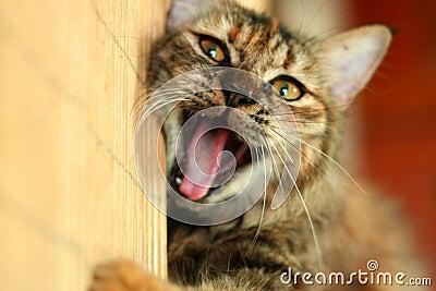 Skämtsam gäspning för katt