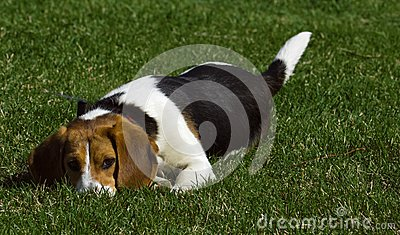 Ska dig leka med mig? - Beagle
